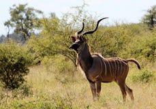 De stier van Kudu stock foto