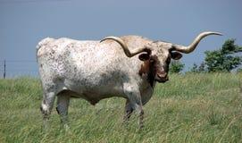 De stier van Longhorn Stock Foto's