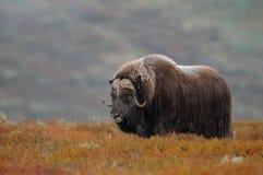 De stier van de muskusos in de herfstlandschap royalty-vrije stock foto's