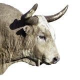 De stier van Texas longhorn op witte achtergrond wordt geïsoleerd die Stock Foto