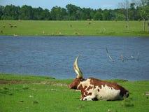 De Stier van Watusi Royalty-vrije Stock Foto's