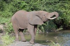 Het drinkwater van de olifant Stock Afbeeldingen