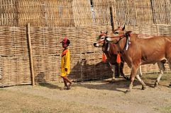 De Stieren van jockeylood in Madura-Stierenras, Indonesië Stock Afbeeldingen