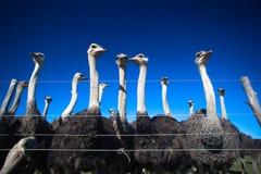 De stijgende mening van de struisvogel Stock Foto