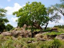 De stijgingen van de boom uit de rotsen Royalty-vrije Stock Foto