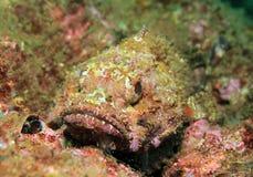 De Stille Oceaan Bevlekte Scorpionfish Royalty-vrije Stock Afbeeldingen