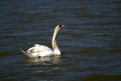 De stodde zwaan is species van zwaan en een lid van de watervogelsfamilie stock afbeeldingen
