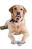 De stoktong van de hond uit met de afstandsbediening van TV Stock Afbeelding