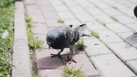 De stomme duiven proberen om brood te eten Zij worden niet overal Grappige ogenblikken stock video