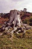 De stomp van de pijnboomboom, Caledonisch bos Stock Foto's