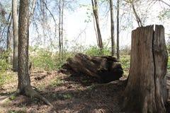De Stomp van een Esdoornboom stock foto's