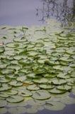 De Stootkussens van Lilly royalty-vrije stock afbeeldingen