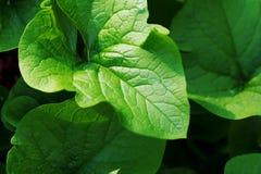 De stora gräsplansidorna Closeupsna Royaltyfria Bilder