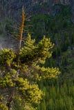 De stora och det högväxt sörjer trädet royaltyfri fotografi
