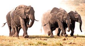 De stormloop van olifanten in het stof. Stock Afbeelding