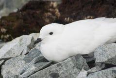 De stormvogel die van de sneeuw op de Antarctische Eilanden rusten. Stock Foto