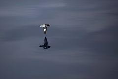 De stormvogel van de kaap, de Antarctische Passage van de Mannetjeseend, Royalty-vrije Stock Foto
