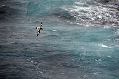 De Stormvogel van de kaap (Pintado, Daption capense), Royalty-vrije Stock Afbeelding