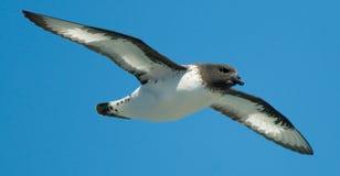 De Stormvogel van Pintado Royalty-vrije Stock Foto