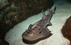 De straal van de haai Royalty-vrije Stock Afbeeldingen