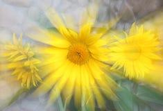 De straal van de zonnebloem Royalty-vrije Stock Fotografie