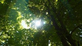 De straal van de zon glanst door het gebladerte van de boom stock videobeelden