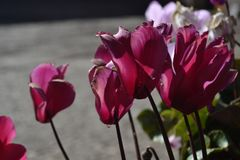 De straat bloeit roze magenta stock fotografie