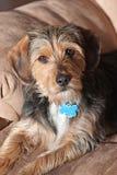 De Straathond van de Mengeling van Yorkie Royalty-vrije Stock Foto