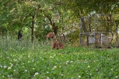 De straathond van de Redbone coonhound bloedhond in het gras stock afbeelding
