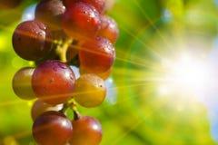 De Stralen van de zon achter Rode Druiven Stock Foto's