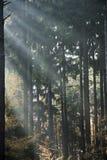 De stralen van de zon in bos Royalty-vrije Stock Fotografie