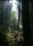 De stralen van de zon in de zomerbos Royalty-vrije Stock Fotografie