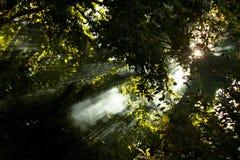 De stralen van de zon in donker hout Stock Afbeelding