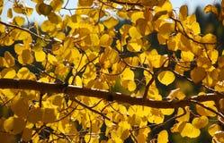 De Stralen van de zon door de Bladeren van de Esp stock foto's