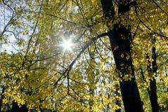 De stralen van de zon door herfstbladeren Stock Foto