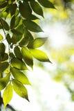 De stralen van de zon en groene bladeren Stock Foto