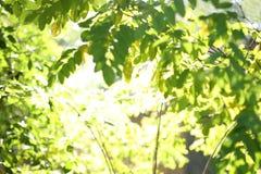 De stralen van de zon en groene bladeren Royalty-vrije Stock Afbeelding
