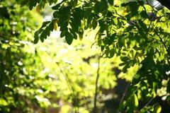 De stralen van de zon en groene bladeren Stock Foto's