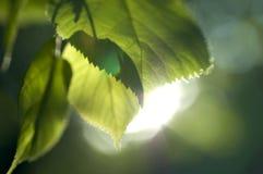 De stralen van de zon en verse de lentebladeren Royalty-vrije Stock Afbeeldingen