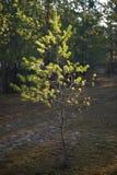 De stralen van de zon glanzen op jonge pijnboombomen in het bos Stock Foto