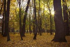De stralen van de zon in het bos Stock Fotografie