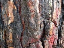 De stralen van de ochtendzon verlichtten de grote pijnboom Royalty-vrije Stock Afbeeldingen