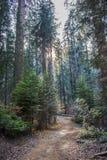 De Stralen van de schemeringzonsondergang door Daling Forest Trail met Pijnboomkornoelje royalty-vrije stock fotografie