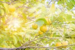 De stralen van de zon glanzen door een boomtak in de tuin met rijpe citroenen en groene bladeren Vage achtergrond stock foto