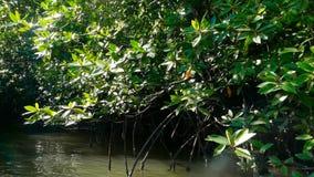 De stralen van de zon verlichten het mangrovebos op de rivier stock video