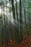 De stralendaling van de zon in het bemoste bos Royalty-vrije Stock Foto's
