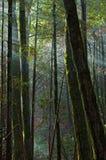 De stralendaling van de zon in het bemoste bos stock fotografie