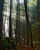 De stralendaling van de zon in het bemoste bos stock afbeeldingen