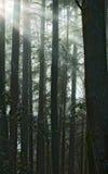 De stralendaling van de zon in het Californische sequoiabos Stock Foto