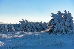 De stralendalingen van de de winterzonsondergang op jeneverbessenboom Stock Foto